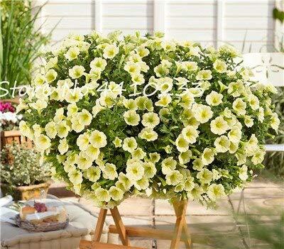 Generic Fresh 100 Pcs Star Petunia Blumensamen zum Pflanzen von Pista Green