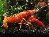Aquatic Arts 1 B-Grade Neon Red Crayfish | Live Freshwater Aquarium Lobster/Crawfish/Crawdad/Real Living Fish Tank Pet