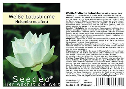 Seedeo® Weiße Indische Lotusblume (Nelumbo nucifera) 7 Samen