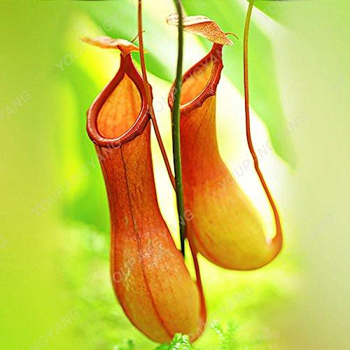50 pièces/Lot Multifarious Graines Nepenthes Plante carnivore Bonsai Dionaea géant clip Graine Dionée plante dans le jardin rouge