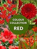 BULBi, Collection Bulbes a Fleur d'Eté Rouge, Pack: 58 Bulbes (Calibre XL), Lys asiatique(8 bulbes), Dahlia(3x), Glaïeuls(25x) et Zantedeschia (3x), Première Qualité.