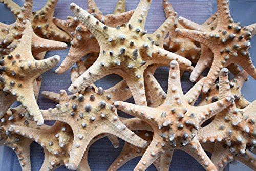 12 Extra Large Knobby Starfish 7' - 8' dried Beach Wedding Crafts Decor Sea Star Cute Nautical Coastal