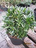 Kirschlorbeer Gajo (R) - Prunus laurocerasus Gajo (R)