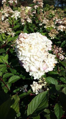 Rispenhortensie Hydrangea paniculata Limelight 40-60 cm im 3 Liter Pflanzcontainer