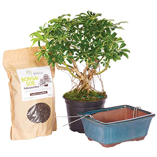 Brussel's Bonsai Live Hawaiian Umbrella Indoor Bonsai Tree PIY Bundle - 5 Years Old 8' to 12' Tall with Soil & Decorative Container, Medium