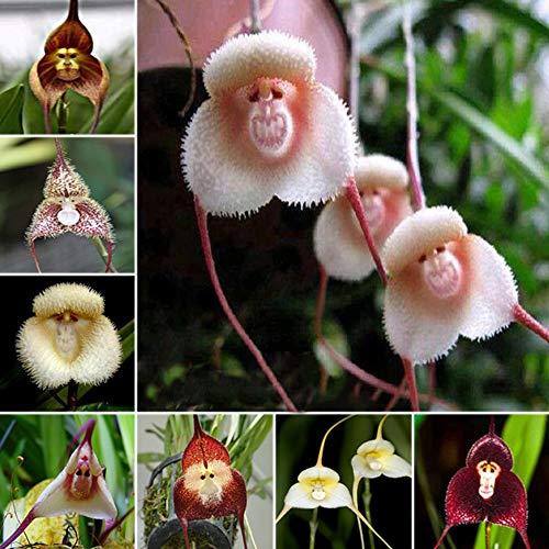 WAINEO De Flores Perennes Semillas De Orquídeas Con Cara De Mono Realistas Semillas De Flores Plantación En Maceta Para El Patio Del Jardín (60/400/500 Pieza) 500pcs/ Mezclado