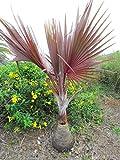 【種子】Latania Lontaroides ★ラタニア・レッド◎レッドラタン・パーム/ベニオウギヤシ (紅扇椰子)◆3粒♪