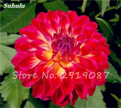 50 Pcs rares Graines Bonsai Dahlia (non Dahlia Bulbes) mixte en chinois magnifique Fleurs Balcon Plante en pot Maison et Jardin 2