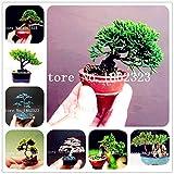 geoponics semi: bonsai 50 pezzi giapponese ginepro bonsai starter albero juniperus nana pianta in vaso per la casa & amp; garden facile da coltivare: misto