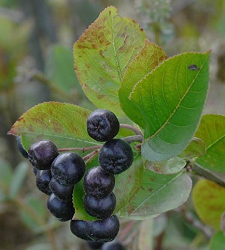 Schwarze Apfelbeere Aronia melanocarpa 100 Samen