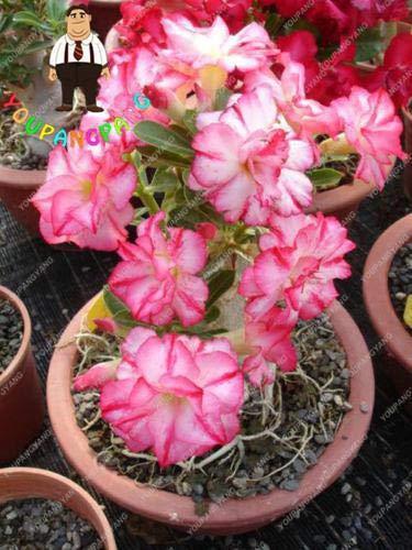 Sumpf frisch 2 Stück Adenium Blumensamen zum Pflanzen von Baby Pink