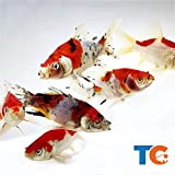 Toledo Goldfish Live Shubunkin and Sarasa Goldfish Combo for Ponds or Aquariums – USA Born and Raised – Live Arrival Guarantee (3 to 4 inches, 6 Fish, 3 of Each)