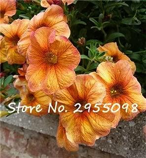 20 Seeds Petunia Kabloom Calibrachoa, mixed bonsai flower seeds, Morning Glory, Pot Plant For Home Garden 24