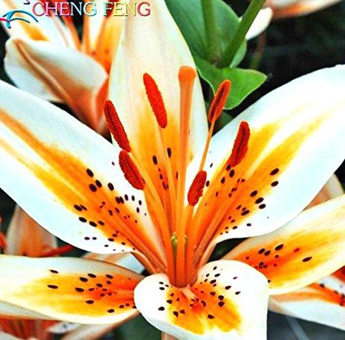 FERRY HOCH KEIMUNG Seeds Nicht NUR Pflanzen: Stargazer Lilien für das Jahr 2016, in der Nähe des Gartens Bench.The lilys in Hochzeit Bouquet 100pcs /: Rot