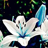 Lily Bulbs Rare Blue Heart Lily Imported...