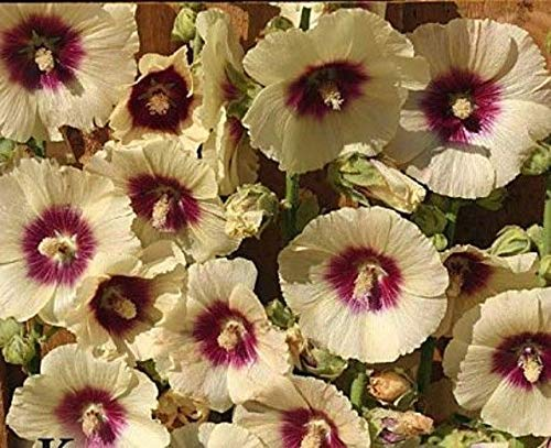 25 Rare Jaune Rouge trémière Graines vivaces géants Flower Garden plantes
