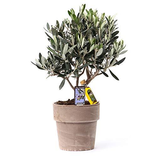 Olea Europeana ''Cipressino'' | Olivenbaum | Lieferhöhe 35-40cm | Inkl. Topf aus Stein Ø16cm