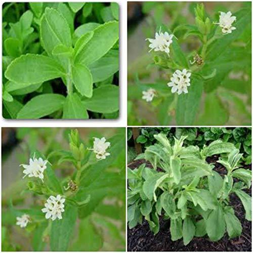 3 Stevia Live-Pflanze, Kräuter, Kulinarische Kräuter, 250 mal süßer als Zucker