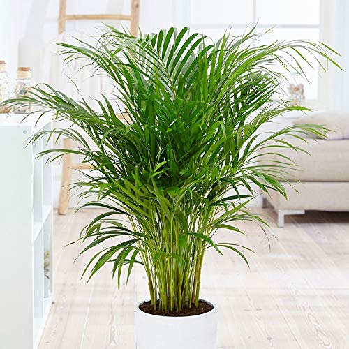 Best air purifying plants -Areca Palm Plant