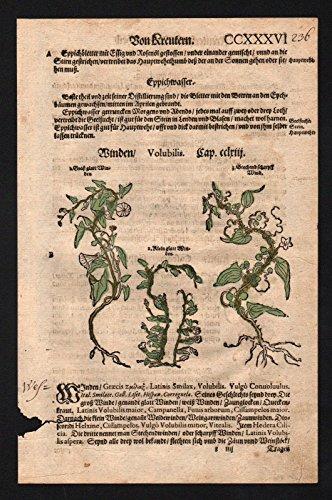 Filzkraut Kletterzwiebel herbs herbal Kräuter Kräuterbuch Lonicer