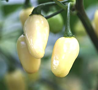 White Habanero Seeds Perfect 300K Scoville Peruvian Chili Pepper bin71 (100 Seeds)