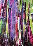 SANHOC 100 PC/Bag Regenbogen-Eukalyptus Bonsai tropischer Baum Plantas Hauptdekoration schöne Gartenpflanze Regenbogen Eukalyptusbaum: 1