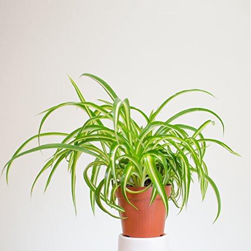 Inter Flower - Grünlilie - Chlorophytum comosum- sehr pflegeleicht, für drinnen und draußen, Luftreinigend - sehr gut geeignet für zu Hause oder Büro (2)
