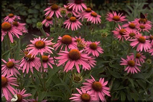 GETSO Samen-Paket Nicht Pflanzen: 3Echinacea Purpurea Magnus Sonnenhut Sommer-Blumen-Biene erfly Nektar
