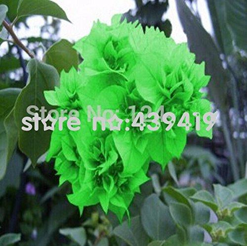 Graines Superior 50 pièces / sac, graines de bougainvillées, balcon en pot, la plantation est simple, le taux de bourgeonnement de 95%