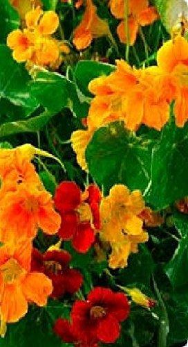 Il vous suffit de graines de fleurs???Capucine???Out of Africa???100?graines