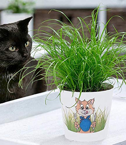 BALDUR Garten Katzengras, 1 Pflanze | fertig gewachsen | Zur Verdauungsunterstützung von Katzen | Zimmerpflanze Cyperus alternifolius