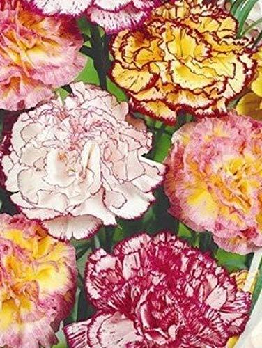 Portal Cool Bio-Blumensamen Carnation Garten Strayped Mix (Dianthus Caryophyllus) Shabo