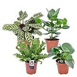mix 'intenz' | set di 4 piante tropicali e purificanti con vasi elho | clusia, peperomia, ctenanthe, asplenium | altezza 25-30 cm | vasi Ø 12 cm