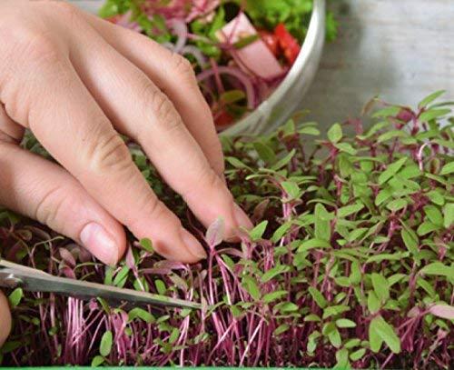 Microgreens - Amarante rouge - jeunes feuilles au gout unique - graines