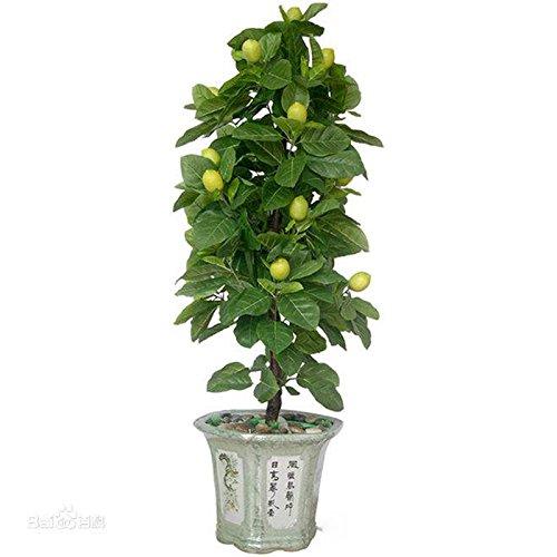 20 PCS/SAC citronnier vert (lenovo citron) graines de chaux bonsaï graines de fruits bio nourriture verte sain facile à cultiver pot