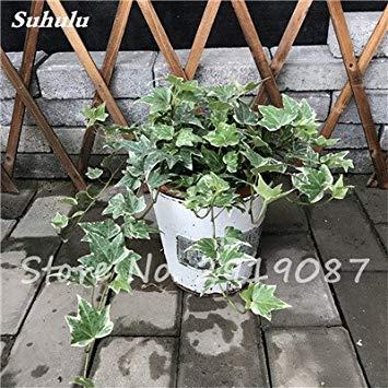 Pearl Chlorophytum Seeds 100 Pcs Hanging type de pot Chlorophytum fleurs fraîches Plantes de l'air intérieur jardin résistant au froid 10