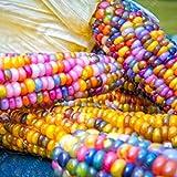 Rosepoem Semillas de maíz Indio 30pcs Semillas de maíz Semilla de maíz Arcoiris