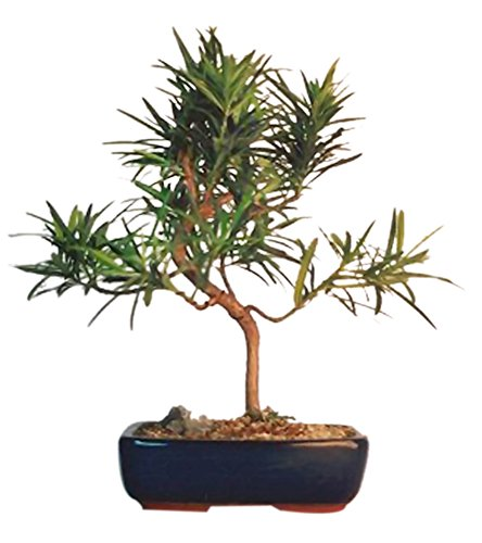 Bonsaiboy Flowering Podocarpus Bonsai Tree Styled - Medium Podocarpus Macrophyllus