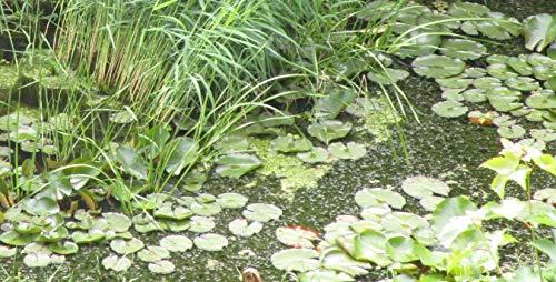 1 Bund Wasserpest (30 Pflanzen) aus Natur-Gartenteich Algenkiller Nr.1 Teichpflanze Schildkrötenfutter