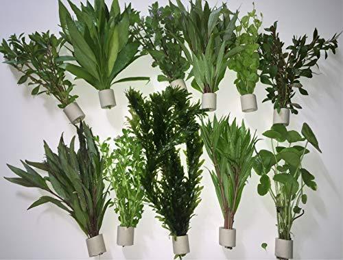 Aquarienpflanzen Wasserpflanzen verschiedene 50 Stängel 5 Extra dick Bund