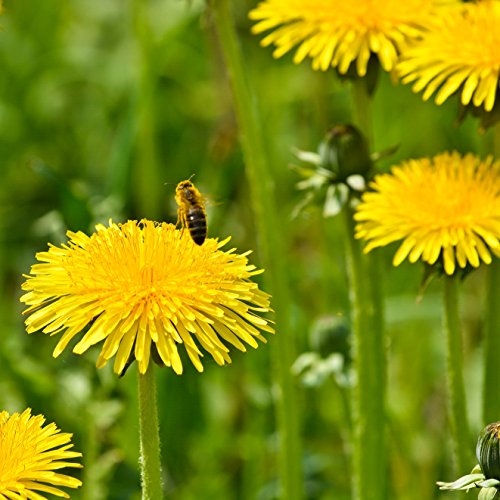 Dandelion with a bee