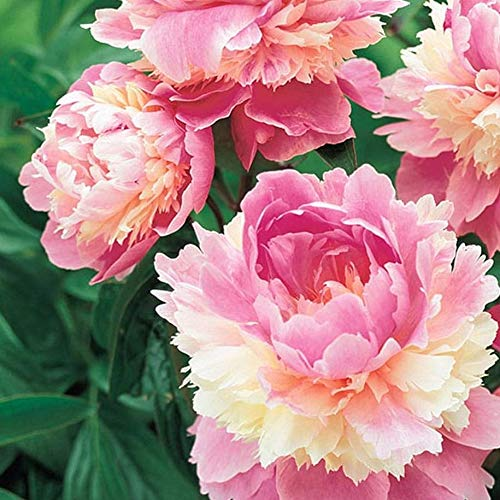 Pfingstrosen Zwiebeln Home Decor Pflanzen Reblooming Topfwurzel HüBsche Zwiebeln Home Garden Special-2 zwiebeln