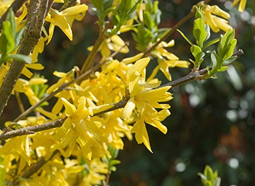 25 Fresh Cuttings Forsythia'Yellow Bells' Easy to Root + Propagation Guide