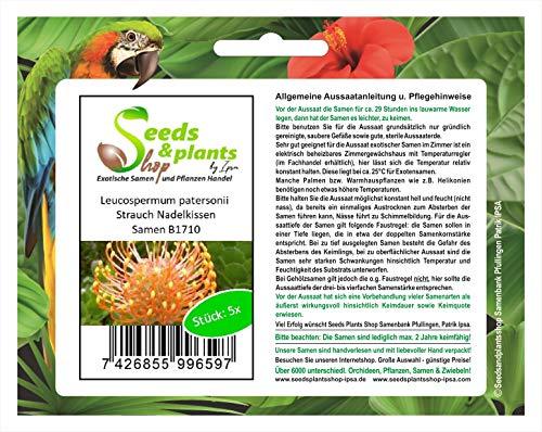 Stk - 5x Leucospermum patersonii Nadelkissen Strauch Pflanzen - Samen B1710 - Seeds Plants Shop Samenbank Pfullingen Patrik Ipsa