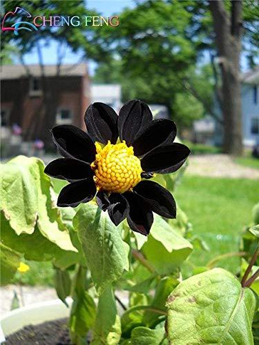 Green Seeds Co. 100 plantes Dahlia rare intérieur belle fleur * maison jardin plante plantes fleurs magnifiques mélange couleur bonsaï bonsaï: rose