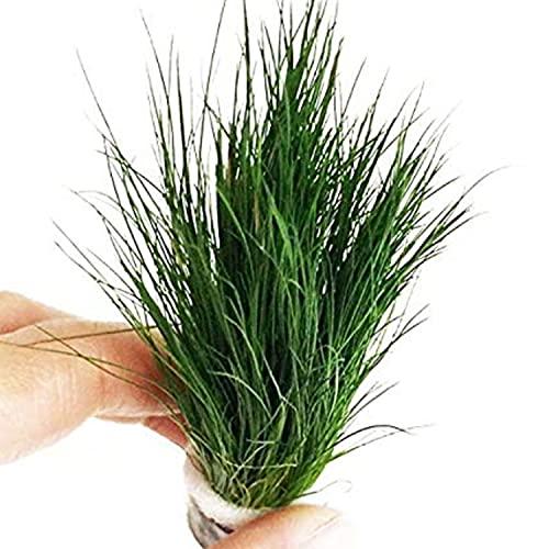 Dwarf Hairgrass Easy Live Aquarium Freshwater Plants Decorations 3 Days Live Guaranteed by Mainam