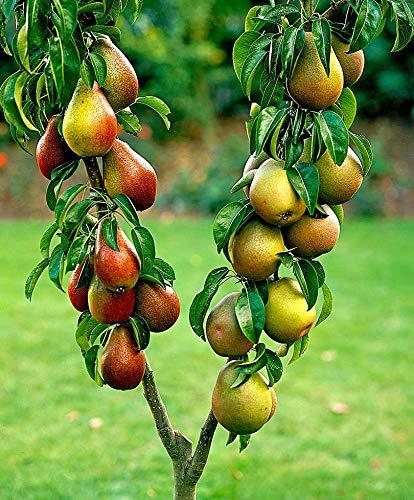 Prunus communis