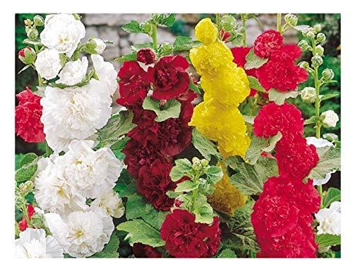 Premier Seeds DirectHOL01F Feigenblättrige Stockrosen BlumenSamenmischung (Packung mit 100)