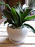 万年青(オモト)有田(ありた)和風の和み テーブルサイズ(S-サイズ)インテリア陶器鉢植え 受け皿付き ミニ観葉植物 『One' Garden 植え替え済み オリジナル作成』