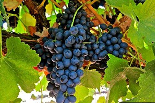 graines de gros Green Grape fruit doux et délicieux raisins de fructification bonsaïs Villa 100 graines/Paquet 2